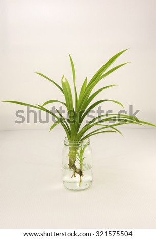 Pandan plant with baby at the aerial root planted on water in a glass bottle for growing more roots before planting to soil.  Pandan leaves comes from the Pandanus amaryllifollius shrub.  - stock photo