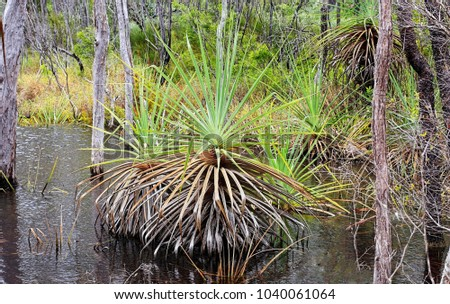 Pandanus in the natural state growing  near a Lagoon