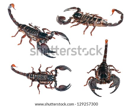 Pandinus imperator, emperor scorpion isolated on white. Collage