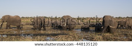 Pano of African Elephants feeding and bathing in the Chobe River at Kasane, Botswana - stock photo