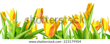 panorama blossoming spring yellow Tulips flower colorful is isolated on white background, collage  - stock photo