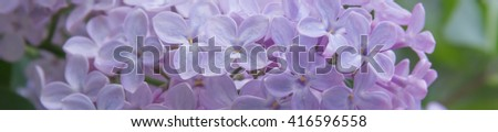 Panorama fragrant flowers and buds of lilac. Lilac blossoms (Syringa vulgaris). Shallow depth of field, selective focus. - stock photo