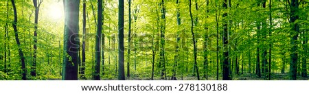 Panorama landscape of a beech forest in the springtime - stock photo