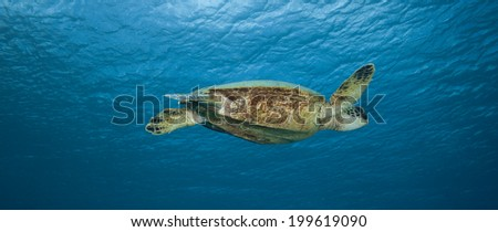 Panorama of a sea turtle swimming through a stark blue ocean - stock photo