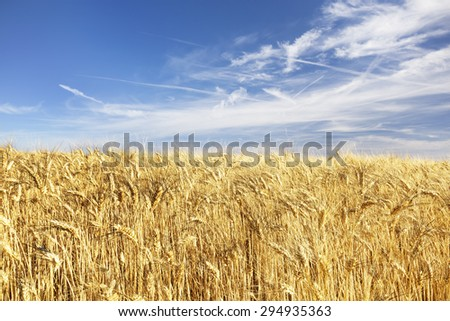 Panorama of a yellow wheat fields