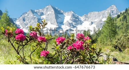 Panorama Of Alpine Roses In The Austrian Mountains