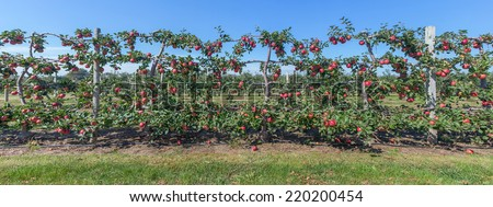Panorama of apples on the vine, Long Island, NY - stock photo