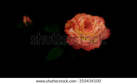 panorama of beautiful Rose flower symbol of love on dark black background with copy space for greeting or condolences card - stock photo