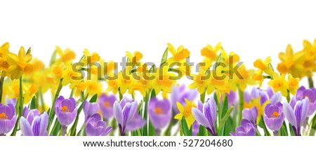 panorama of daffodils and crocus on white background