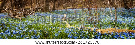 Panorama of early spring blue flowers wood squill blooming in abundance on forest floor. Ontario, Canada. - stock photo