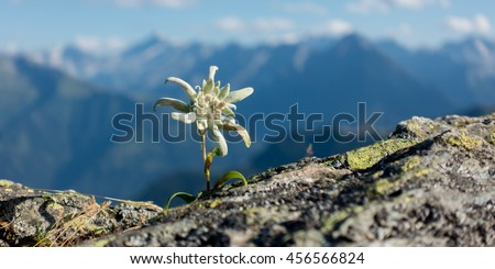 Panorama of Edelweiss on rock in the Alps