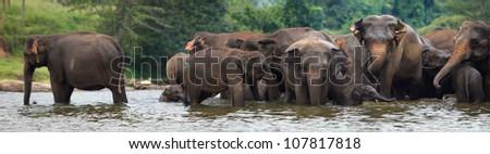 panorama of elephant herd in water, Pinnawala, Sri Lanka - stock photo