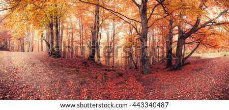Panorama of fall colors old woodland