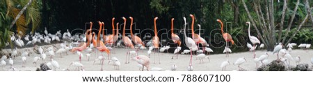 Panorama of Flamingos and American white ibis (Eudocimus albus)in a pond in the everglades nearFort Lauderdale, Florida