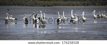 Panorama of  graceful majestic large white pelicans  pelecanidae species pelecaniformes  on the sandy mud flats of the Leschenault Estuary near Bunbury Western Australia  on a cloudy summer morning. - stock photo