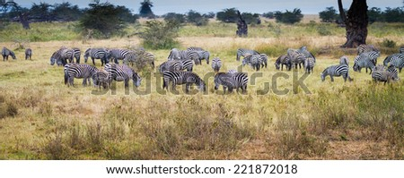 Panorama of herd of zebras in Tanzania - stock photo