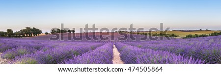 Panorama of lavender field at sunset in Provence, South of France