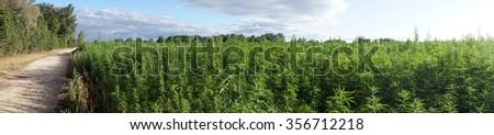Panorama of road and field with marijuana                                - stock photo