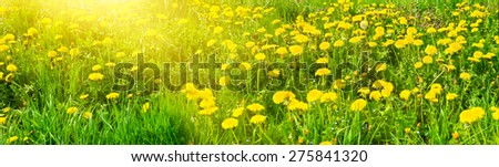 Panorama of spring glade full of dandelions - stock photo