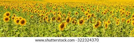 Panorama of sunflower field - stock photo