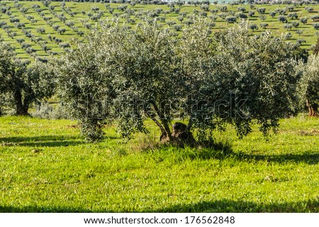 Panorama of the province of Granada, with olive trees. Andalusia, Spain - stock photo