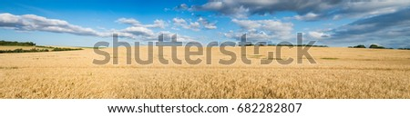Panorama of Wheat landscape