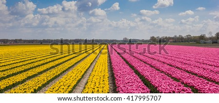 Panorama of yellow and purple tulips in Holland