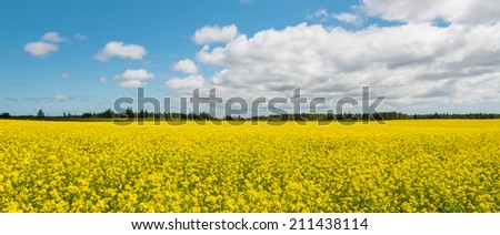 Panorama of yellow field rapeseed in bloom (Green Gables Shore, Prince Edward Island , Canada) - stock photo