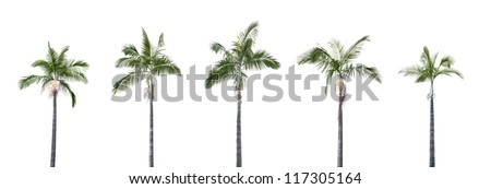 Panorama shoot for group of palm trees isolated on white background in park. - stock photo