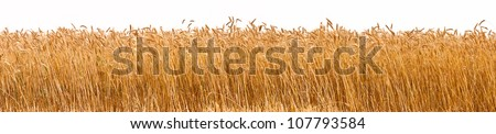 Panorama shot of a wheat plantation - stock photo