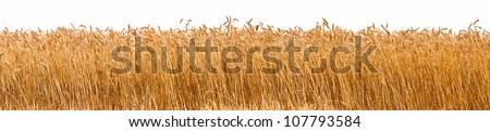 Panorama shot of a wheat plantation - stock photo