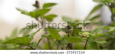 Panorama View of Camouflage ability of Australian green tree frog, color matching on green basil leaves in garden - stock photo
