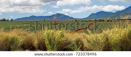 Panorama views of the miles of pineapple fields blowing in strong September trade winds along the Kamehameha Highway near the famous North Shore surfing and kite boarding mecca on Oahu Island, Hawaii.