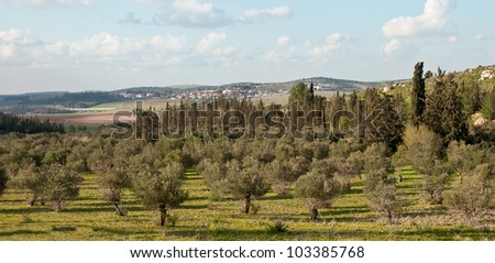 Panorama with rows of olive trees in the country. Spring. Israel. - stock photo