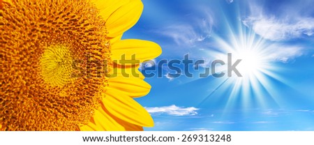 Panoramic close up of a sunflower, blue sky and sunshine background - stock photo