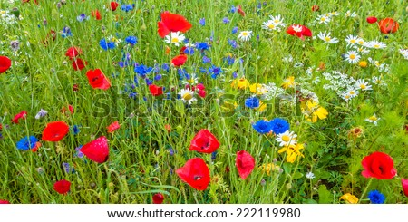 Panoramic image of a field with blooming poppy's, cornflowers and daisies - stock photo