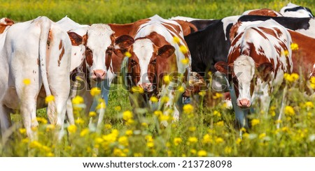 Panoramic image of dutch dairy cows in summer with yellow blossoming flowers in front - stock photo