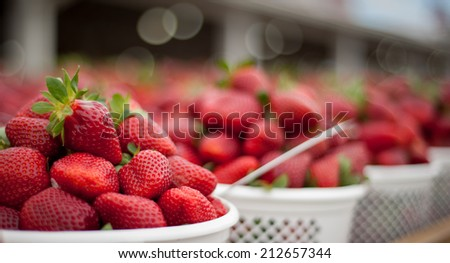 Panoramic image of fresh strawberries ready to go to market. Image has selective focus and shallow depth of field. - stock photo