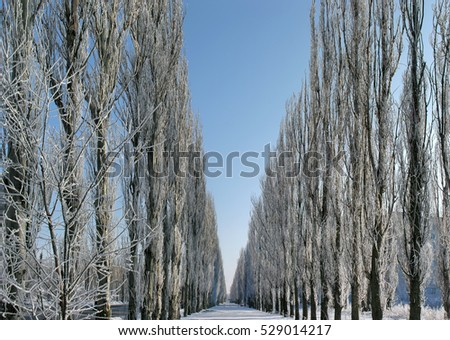 panoramic image of the alley of poplar trees in the  winter