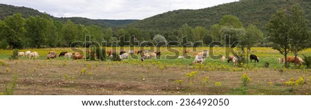 Panoramic landscape of brown  cows, grazing in plain or meadow with yellow flowers (Senecio jacobaea); on the banks of a river with poplars and willows beside hills or mountains with oak - stock photo