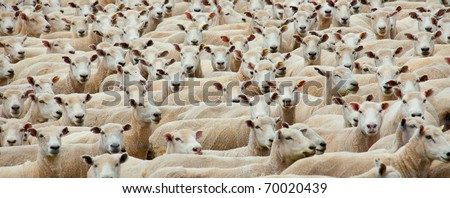 Panoramic of a flock of sheared sheep - stock photo