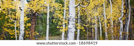 panoramic photo of aspen trees with yellow leaves in the fall outside in the forest - stock photo