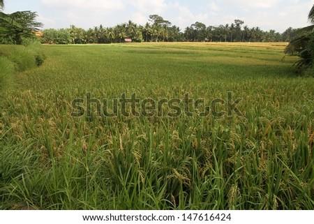 Panoramic Rice Paddy  - stock photo