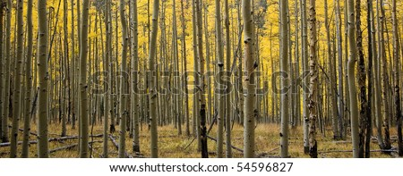 Panoramic shot of the golden fall aspens on Kenosha pass in Colorado - stock photo
