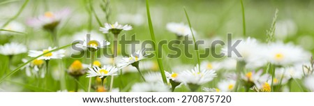 Panoramic view of chamomile in grass in summer - stock photo