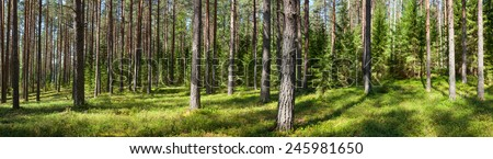 Panoramic view of conifer forest on a summer day - stock photo