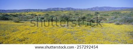 Panoramic view of Desert Gold yellow flowers in Carrizo Plain National Monument, San Luis Obispo County, California - stock photo