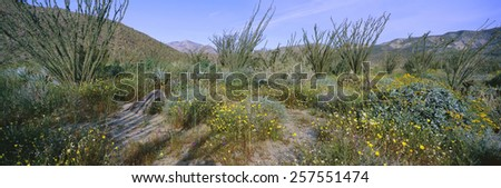 Panoramic view of Desert Lillies, Ocotillo and flowers in spring fields of Coyote Canyon in Anza-Borrego Desert State Park, California - stock photo