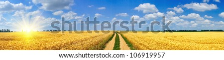 Panoramic view of golden wheat field  by summertime.