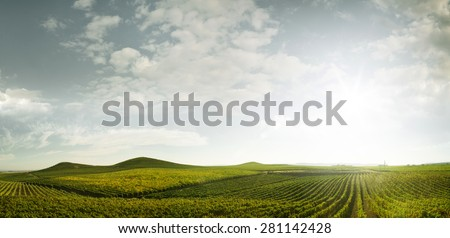 panoramic view of grape plantation of Napa valley in summer time - stock photo